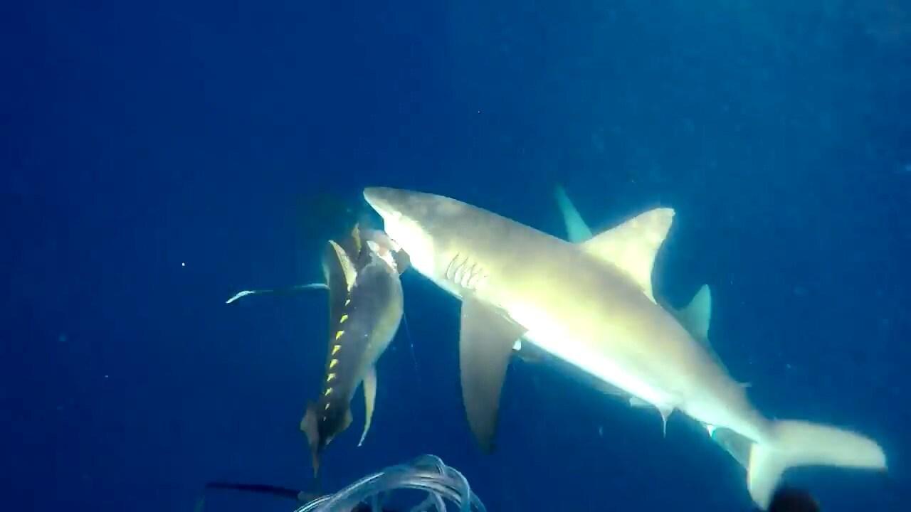 Нападение акул на подводного оходника