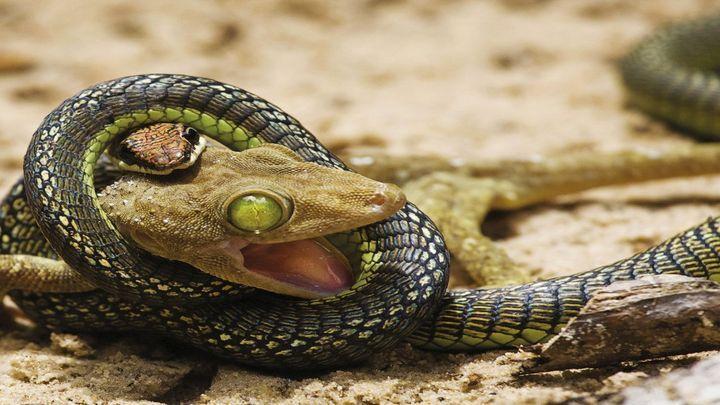 Никогда не сдавайся! Геккону удалось вырваться из смертельных объятий змеи