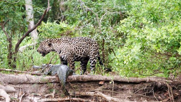 Зрелищное нападение ягуара на каймана