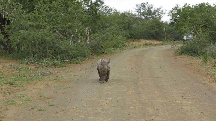 Детеныш носорога пытается напугать автомобиль с туристами