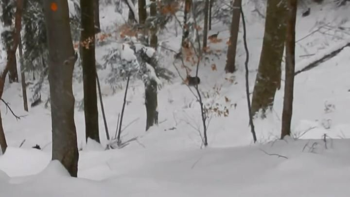 Лесничий спас семью медведей от стаи волков