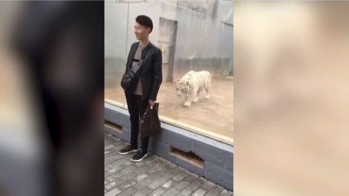 Тигр решил напасть на посетителя зоопарка со спины, но забыл про стеклянное ограждение