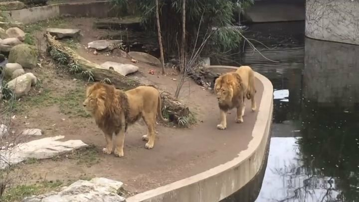 Лев способен выглядеть грациозно в любой ситуации