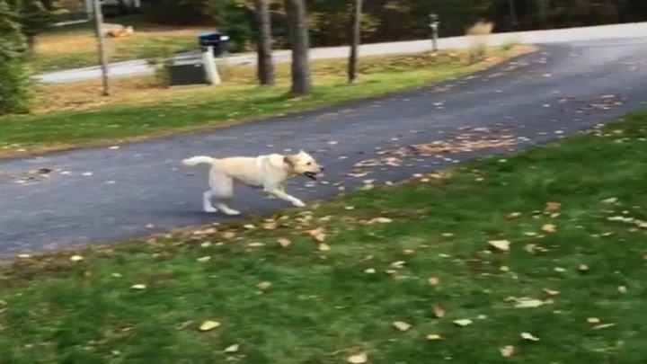 Радостный пёс прыгает в кучу опавших листьев