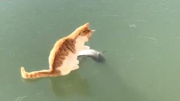 Котик пытается добраться до рыбки в замерзшем озере