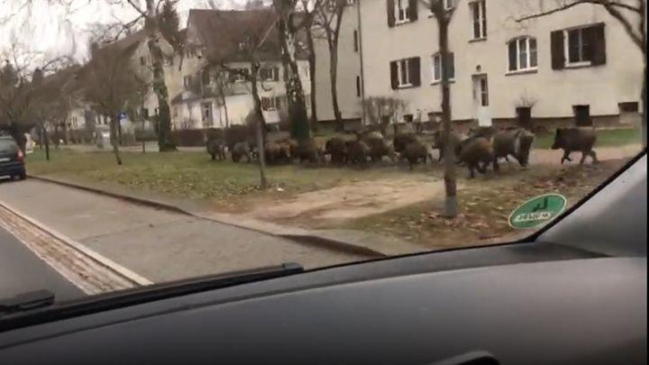 Тем временем в Германии: стадо кабанов нарушило покой жителей немецкой коммуны