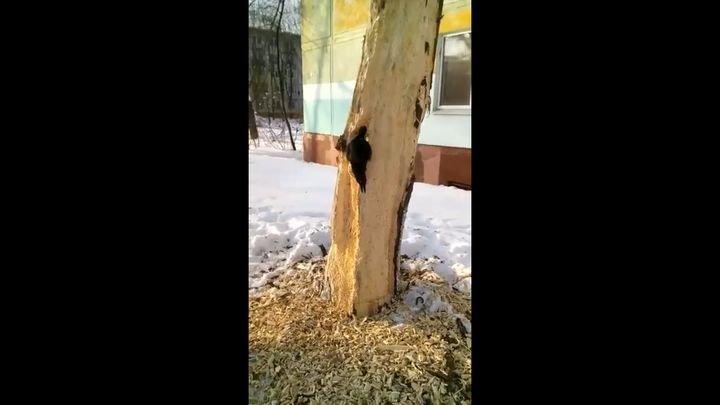 Работник месяца: настойчивый дятел четыре дня долбил дерево