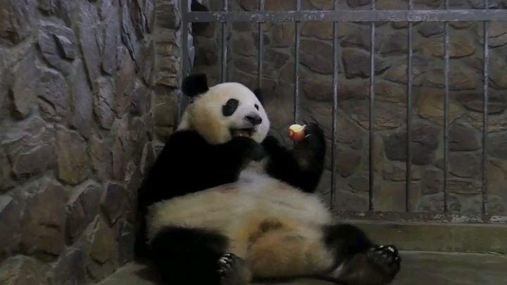 Мать-панда с легкостью променяла детеныша на яблоко