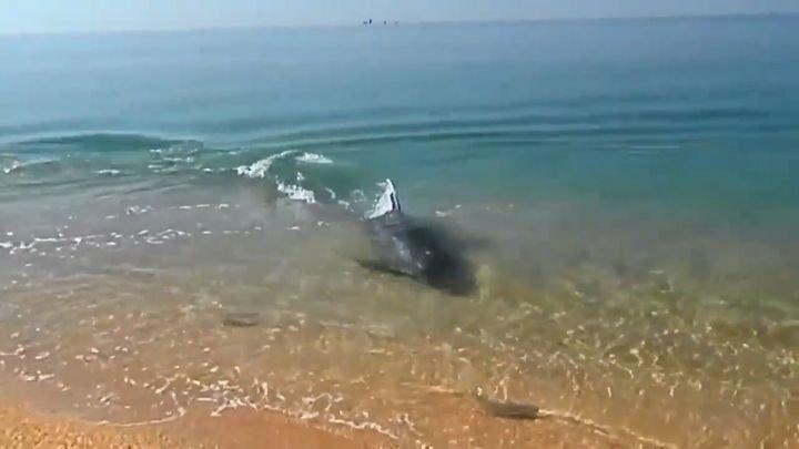 Отдыхающие сняли игривую погоню дельфина за рыбой