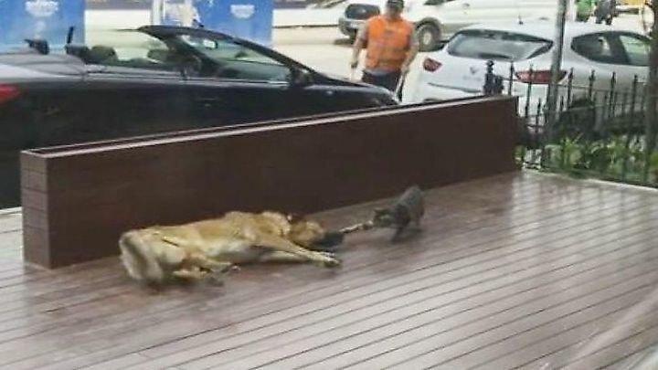 Кошка проверила нервы спящего пса на прочность