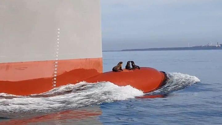 Тюлени-безбилетники забрались на нос судна