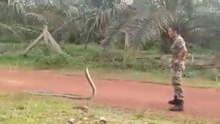 Малайзийский солдат усмирил крупную кобру