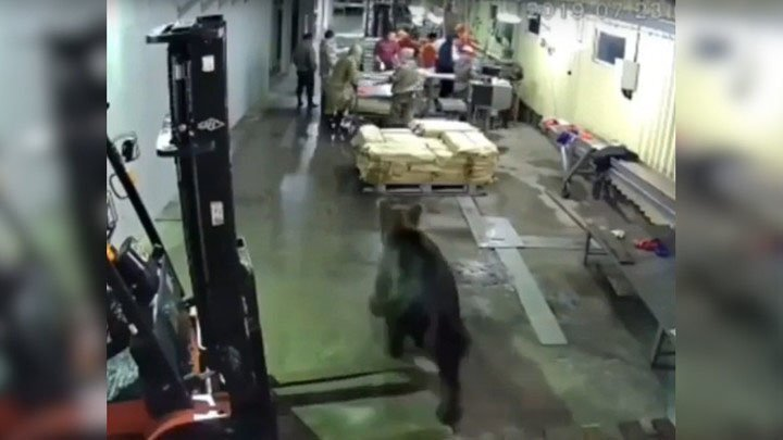 На сахалинский рыбный завод пришел медведь
