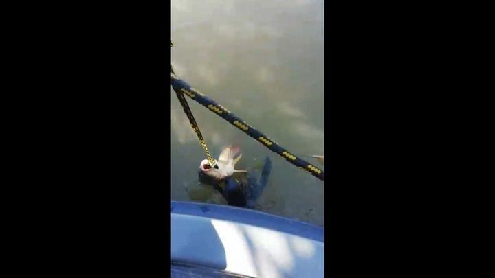 Пойманная рыба приглянулась другому обитателю реки