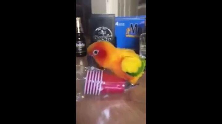 Попугай, который умеет развлекаться в одиночестве