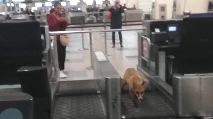 Лиса заблудилась в здании аэропорта Домодедово