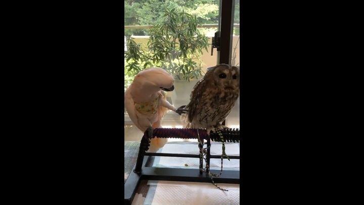 Любопытный попугай пытается привлечь внимание равнодушной совы