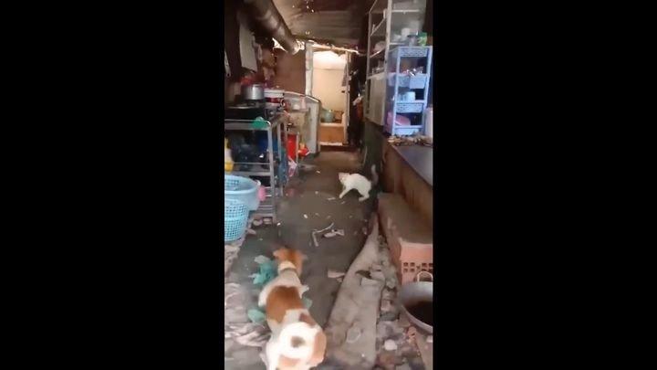Боевая крыса дала отпор кошке и псу