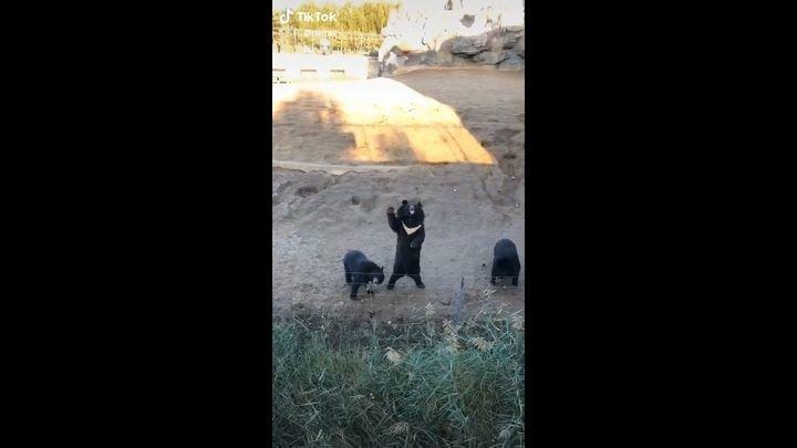Вежливые медведи приветствуют туристов из-за изгороди вольера