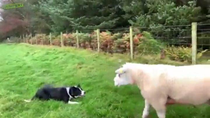 Четвероногий пастух показал упрямым овцам, кто является главным  на ферме