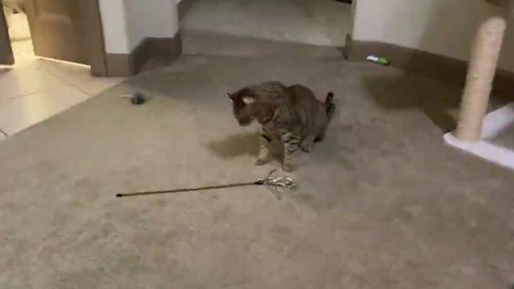 Кот, который умеет развлечь себя сам