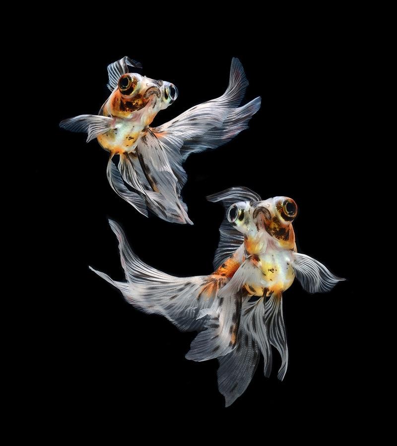 Сиамские боевые рыбки