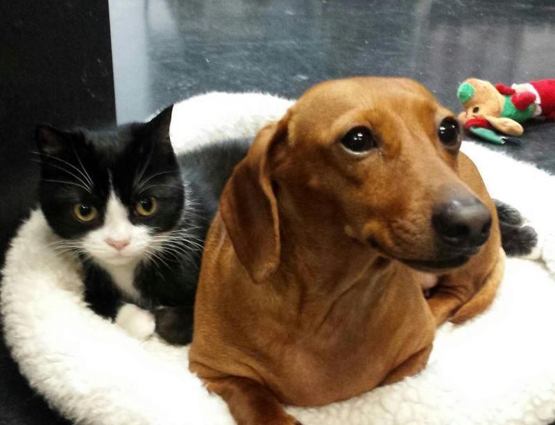 Такса ухаживает за парализованной кошкой