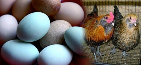 Куры породы Аракуана несут цветные яйца
