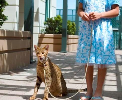 Мифическая и очень дорогая порода кошек Ашера
