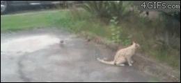 Кошачье поведение в гифках