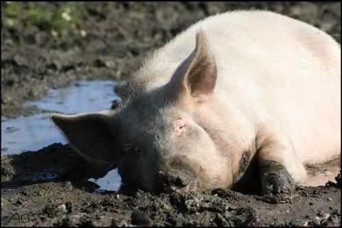 Свиньям место в хлеву.