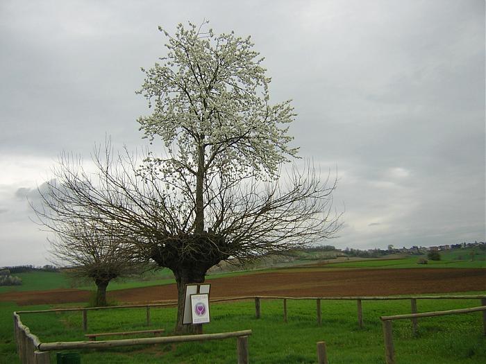 Касорцо - два дерева в одном