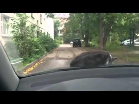 Просто у кота личный водитель