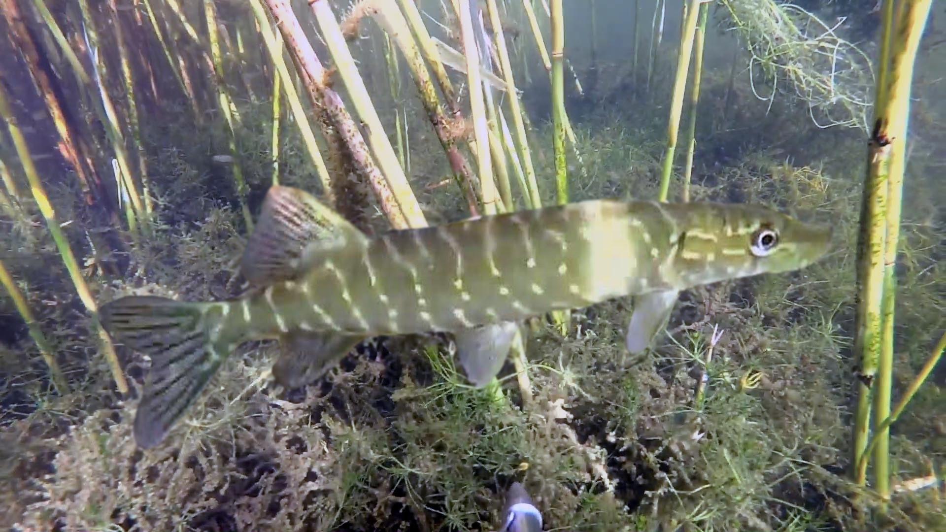 Подводная охота №11 под солнцем на озере
