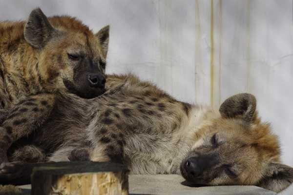 В японском зоопарке ждали потомство от двух гиен-самцов