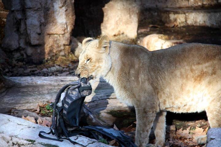 В Барселоне мужчина прыгнул в вольер со львами