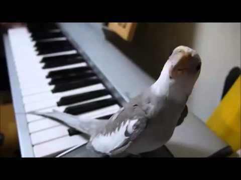 Музыкальный попугайчик