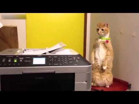 Кот завтыкал на принтер