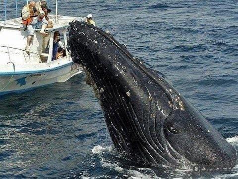 Незабываемая встреча с горбатыми китами