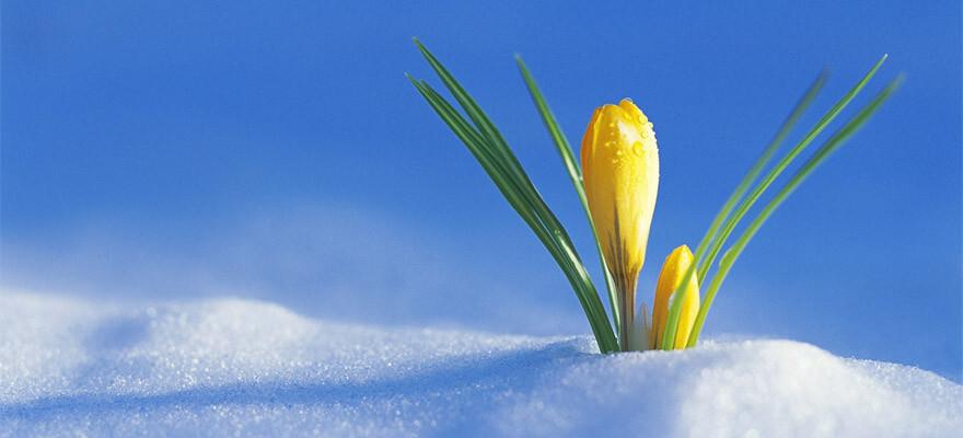 11 самых первых весенних цветов в саду