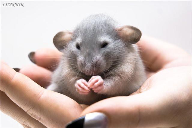 Удивительные факты о крысах, о которых вы не знали