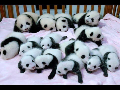 В Китае появились на свет сразу 14 панд!