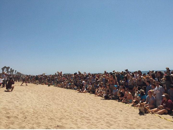 Ежеквартальная Пляжная вечеринка корги: 23 фото собачьего рая