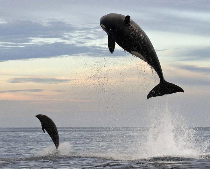 8-тонная касатка подражает дельфину