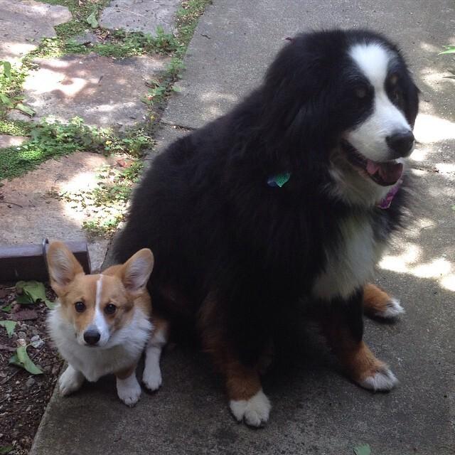 28 примеров потрясающей дружбы больших и маленьких собак