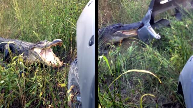 Аллигатор атаковал автомобиль туриста