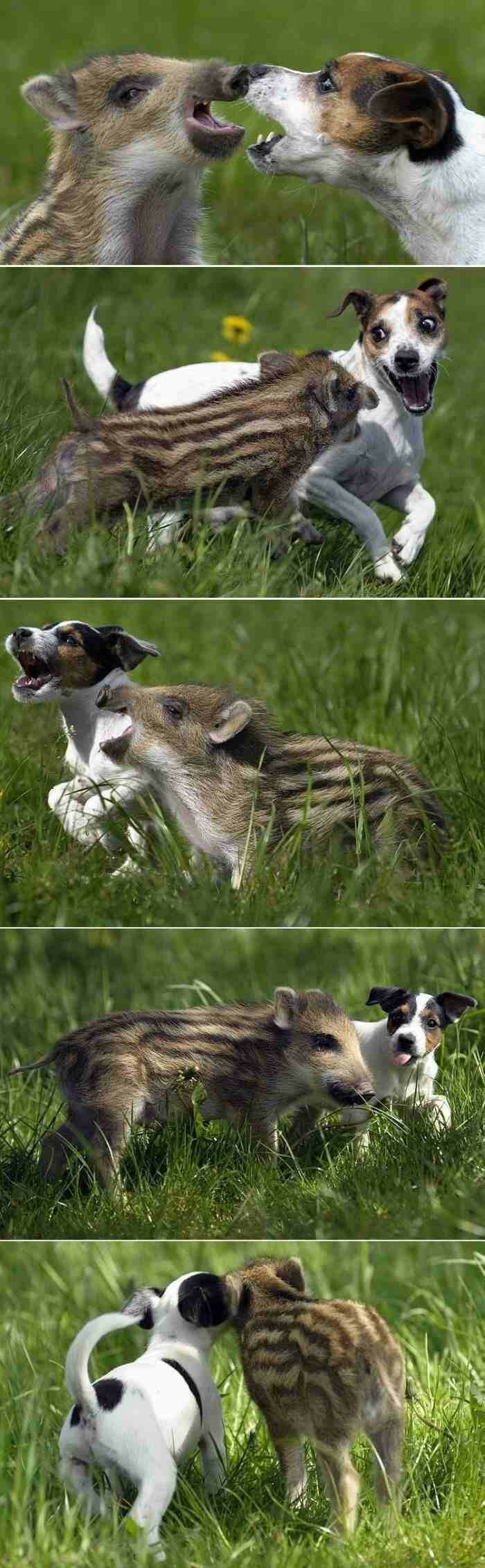 Собака и кабанчик.
