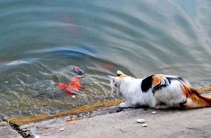 Фотоистория как кот поймал золотую рыбку