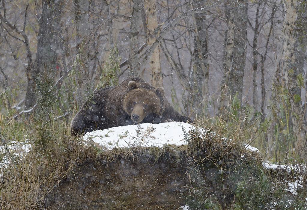 Озеро, берег, зима медведи
