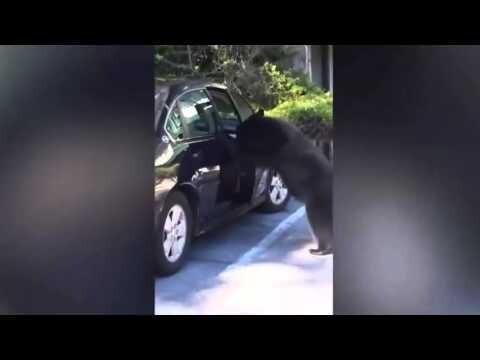 Медведь забрался  в автомобиль и начал сигналить